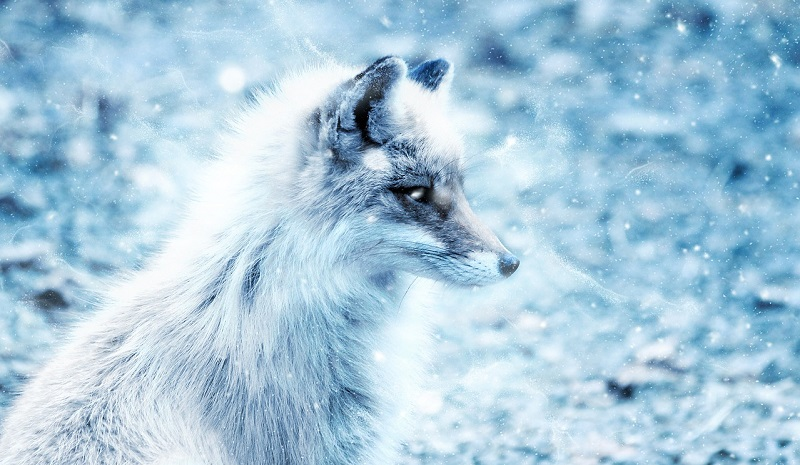 blue foxes in marketing